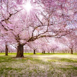 Eine Grafik zu Obstplantage während der Kirschblüte