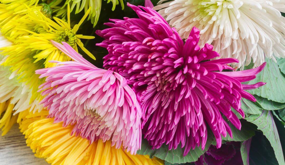 Chrysanthemen sind beliebte Herbstblumen und in vielen verschiedenen Farben erhältlich. | Bildquelle: © neirfy - Fotolia