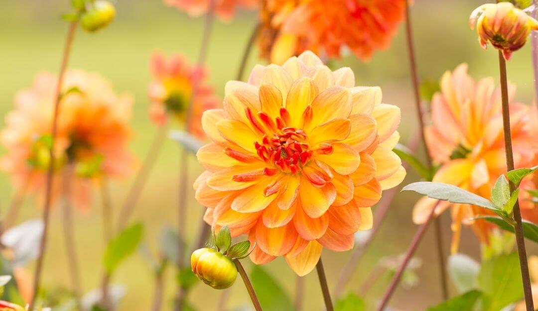 Dahlien haben in jeder Farbe eine andere Bedeutung. | Bildquelle: © Floydine - Fotolia