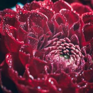Eine Grafik zu Schöne Beispiele & Bilder für Grabdeko mit Chrysanthemen