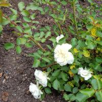 Grabbepflanzung mit Rosen