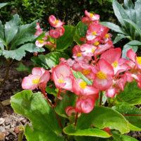 Blumen für Grab Grabblumen Grabbepflanzung Schattig wenig Sonne