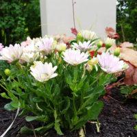 Blühende Bodendecker für das Grab Grabblumen Grabpflanzen Beispiele Idee
