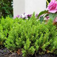 Bodendecker immergrün & ganzjährig für das Grab