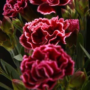 Eine Grafik zu Schnittblume Nelke kaufen