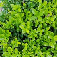 Pflanze Grab Bodendecker Immergrün