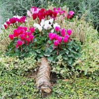 Grabbepflanzung mit Alpenveilchen und Rebhuhnbeere
