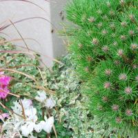Grabpflanzen Bodendecker Immergrün
