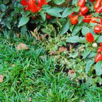 Grabbepflanzung Urnengrab Bodendecker immergrün Reiherschnabel