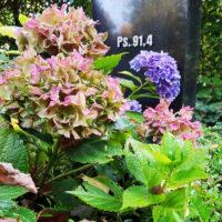 Grabbepflanzung mit Hortensie