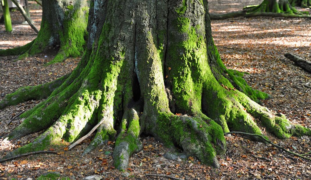 Baumwurzeln auf einem Waldfriedhof