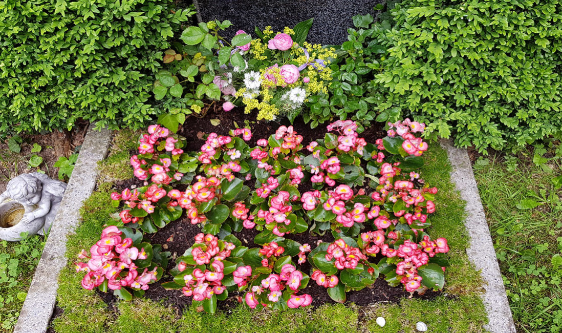 Urnengrabstelle Granit Hecke Buchsbaum Einrahmung eingewachsen Blumen Bepflanzung Sommer Bodendecker Grabeinfassung Friedhof Cospeda