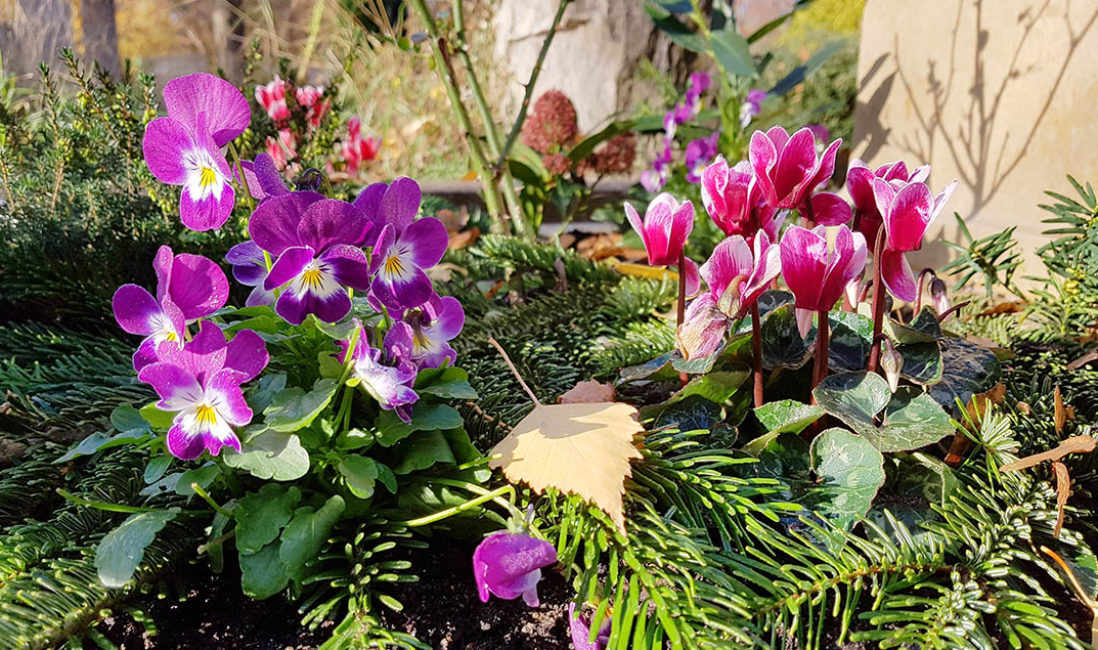 Grabgestaltung Grabpflanzen Herbst Alpenveilchen Hornveilchen Blumen