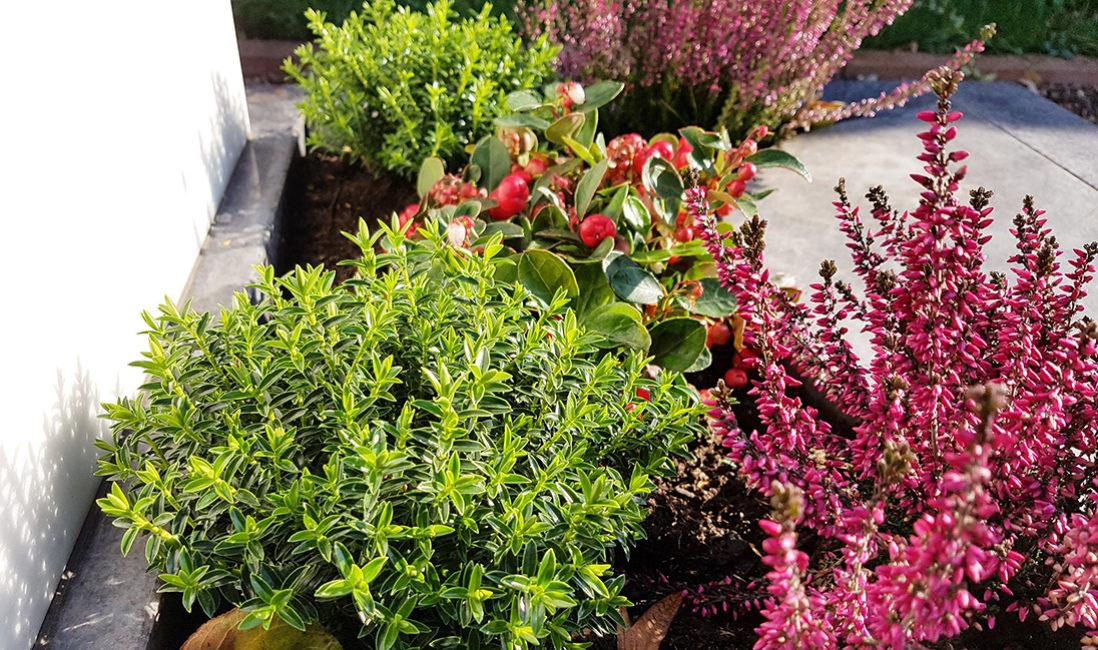 Grabbepflanzung mit Herbststauden Erika Heide Herbst Grabpflanzen Winter