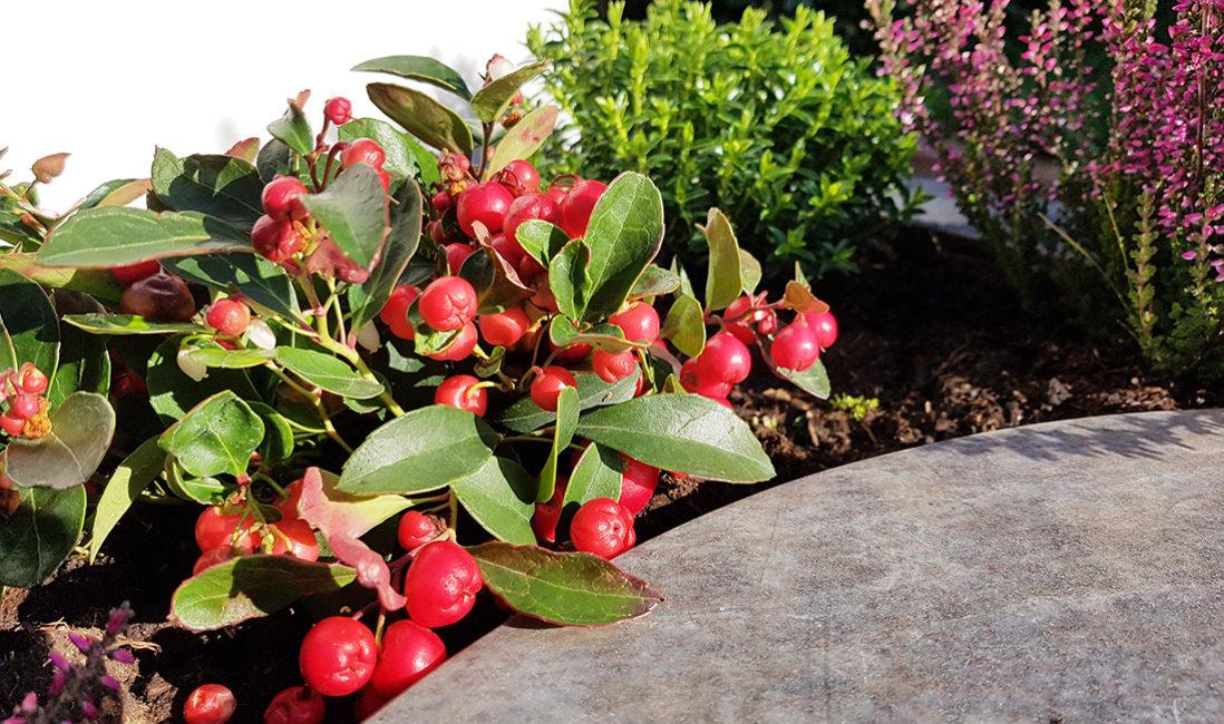 Grabgestaltung Grabbepflanzung Herbst Winter Scheinbeere Urnengrab
